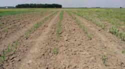 No-till improves corn stands